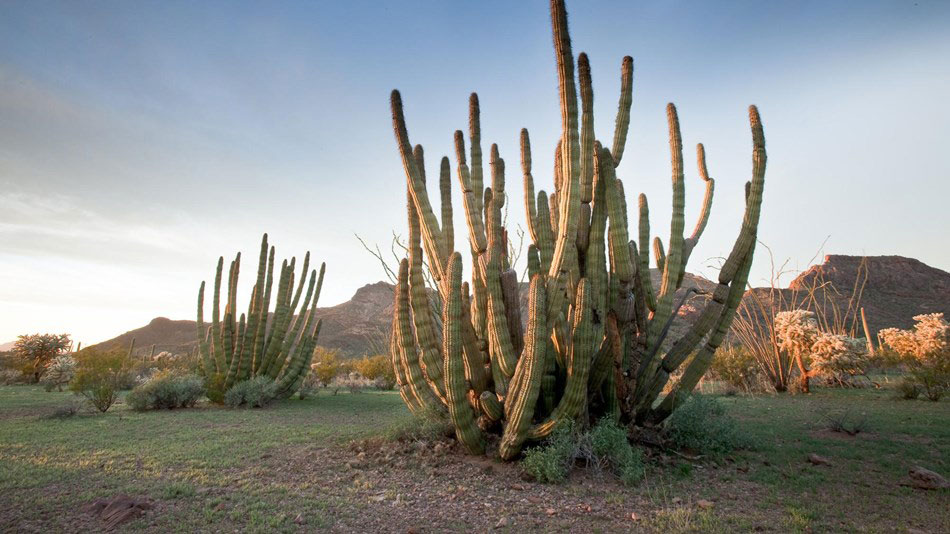An organ pipe cactus within the national monument.