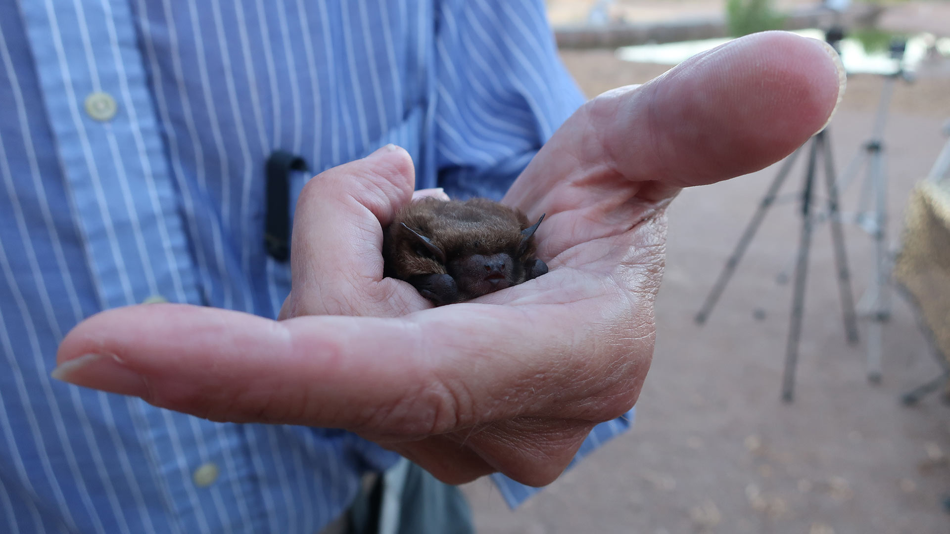 Archie is a big brown bat, and has been taken care of by Bob & Debbie Beucher since being rescued more than sixteen years ago.