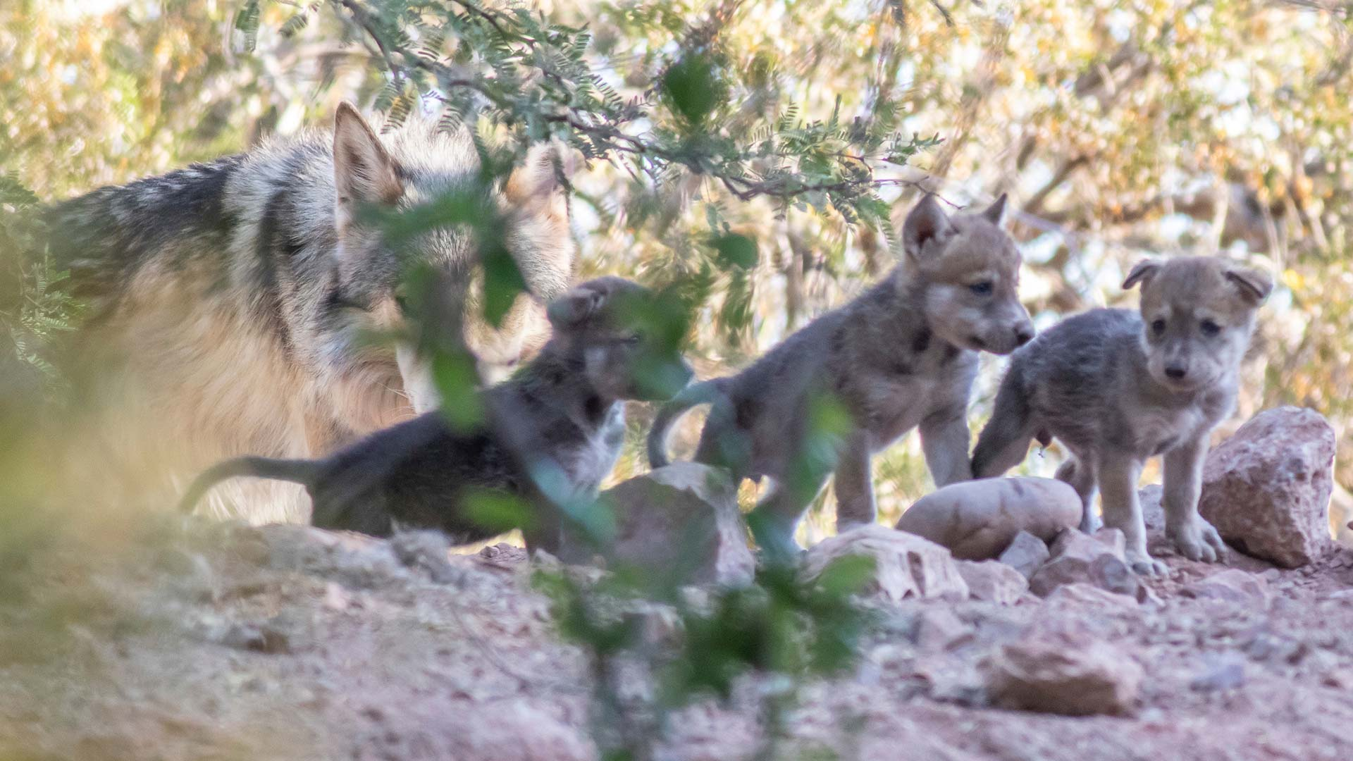 Wolf pups at the Phoenix Zoo, May 2019.