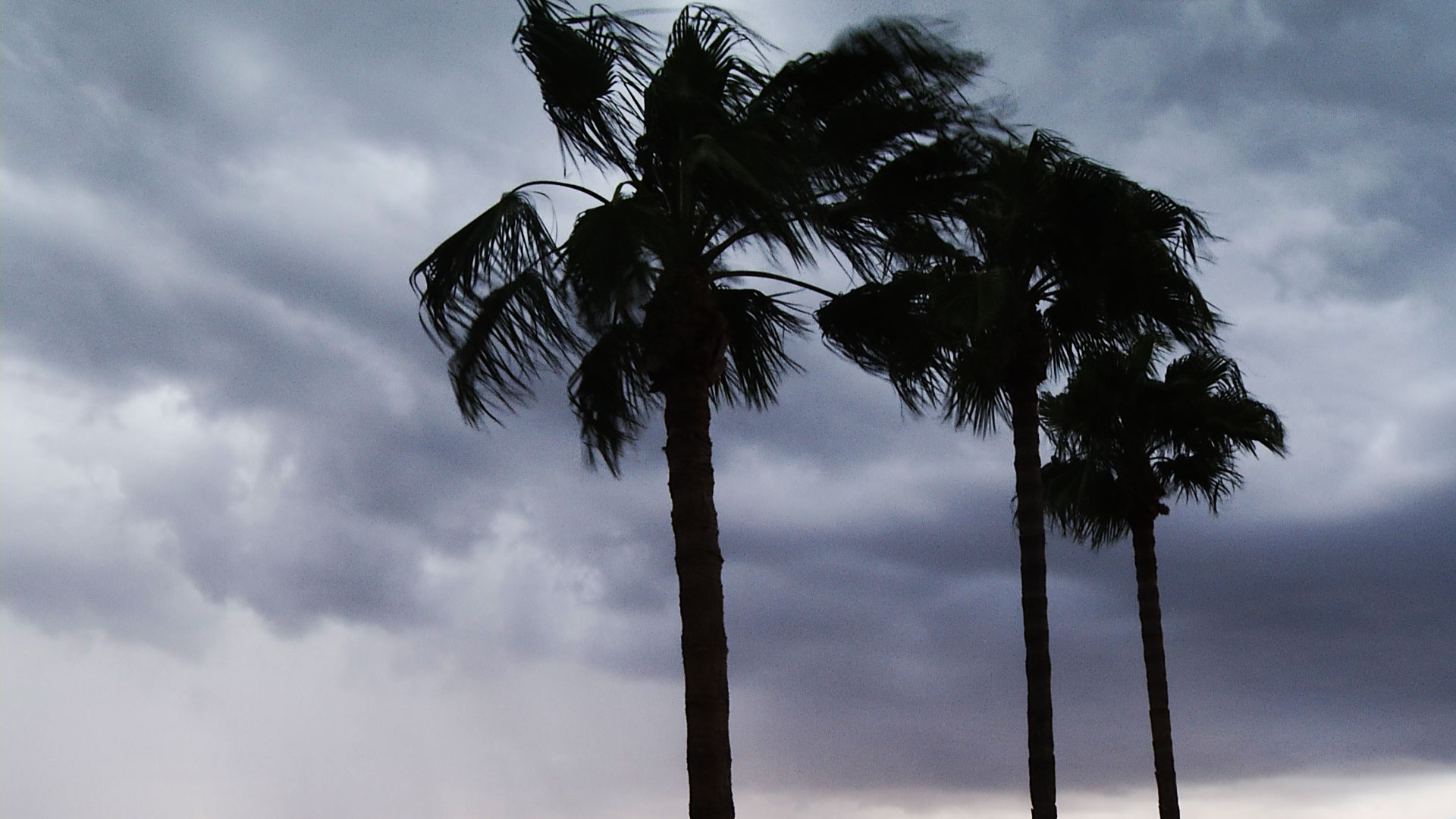Palm trees blow in the wind during monsoon in Tucson.