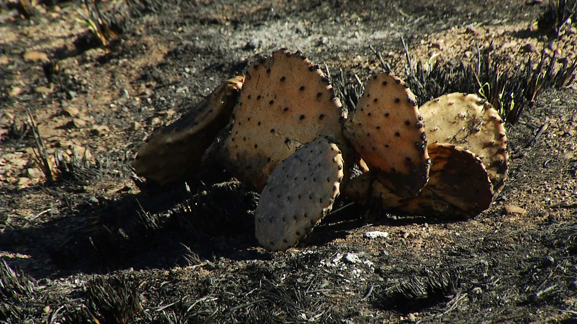 A prickly pear cactus charred by the Sawmill Fire in Pima County in April 2017.