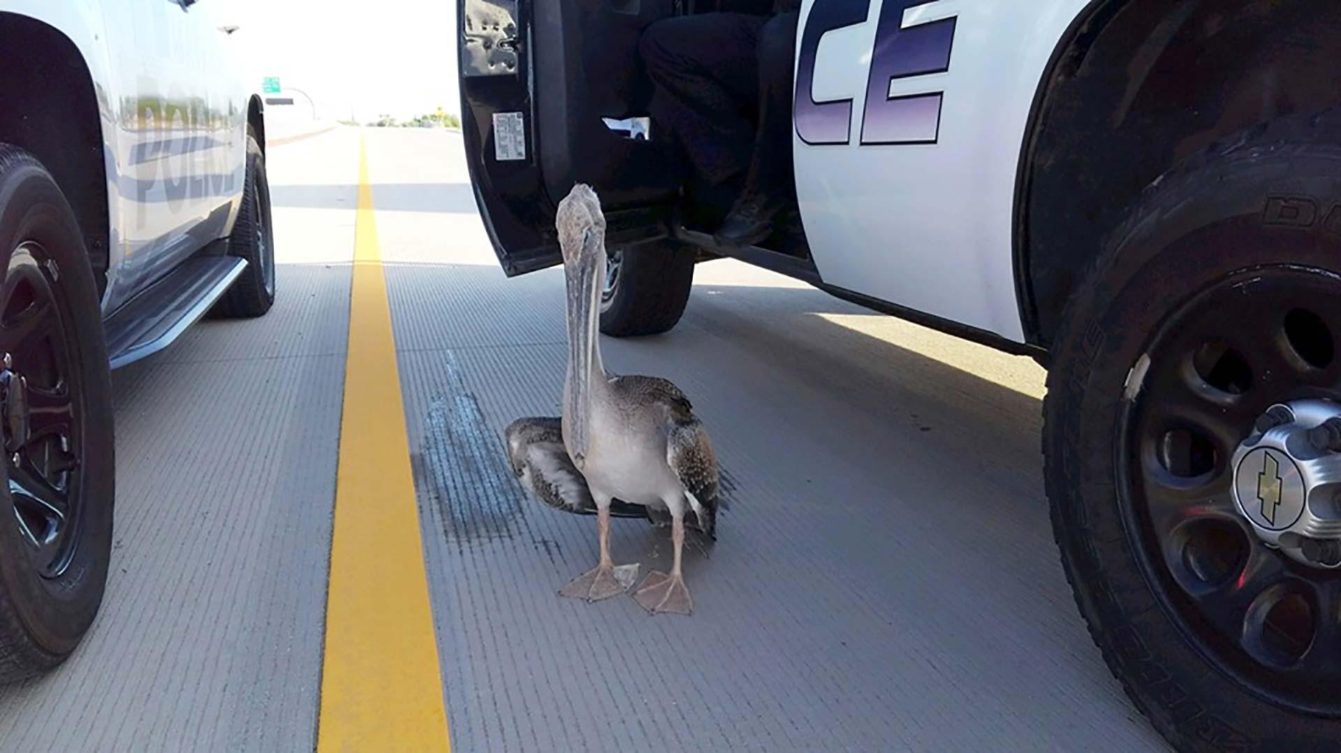 lost-pelican-hero