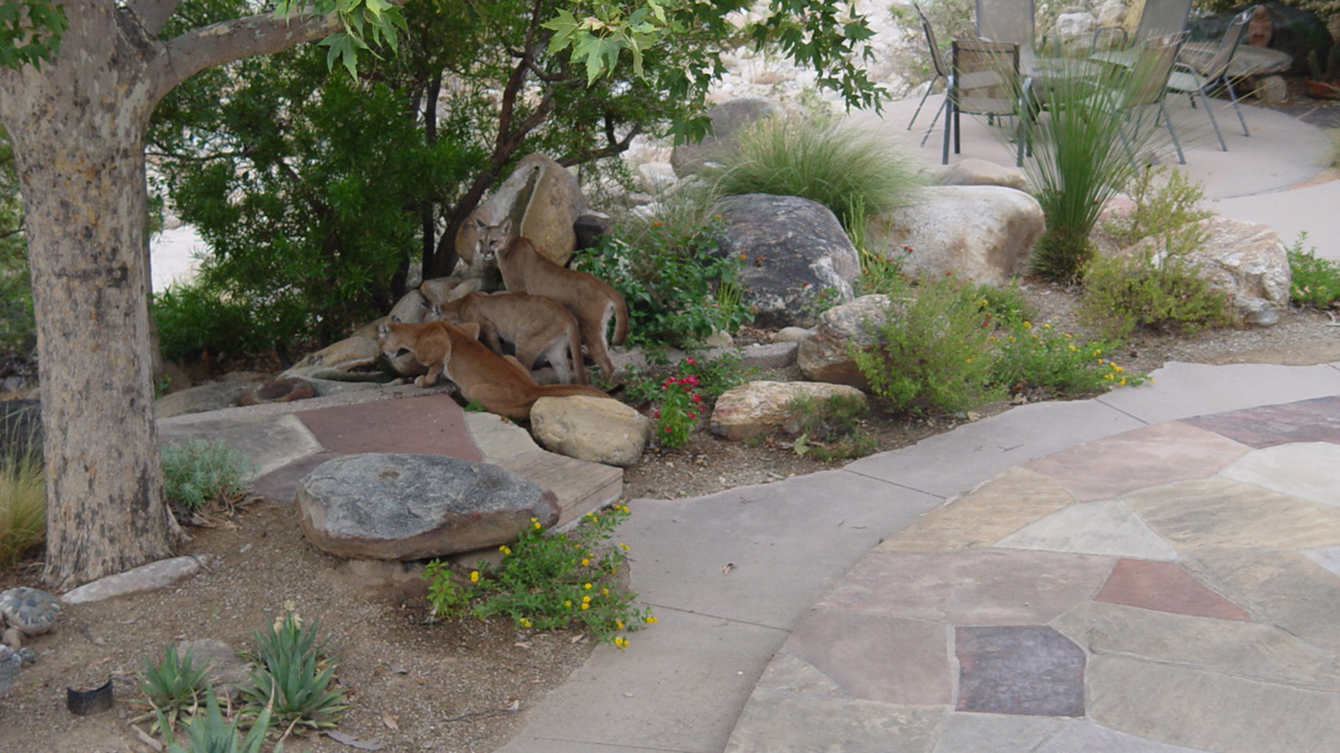 Three mountain lions spotted in a yard along Sabino Creek, Wednesday, July 24, 2019.
