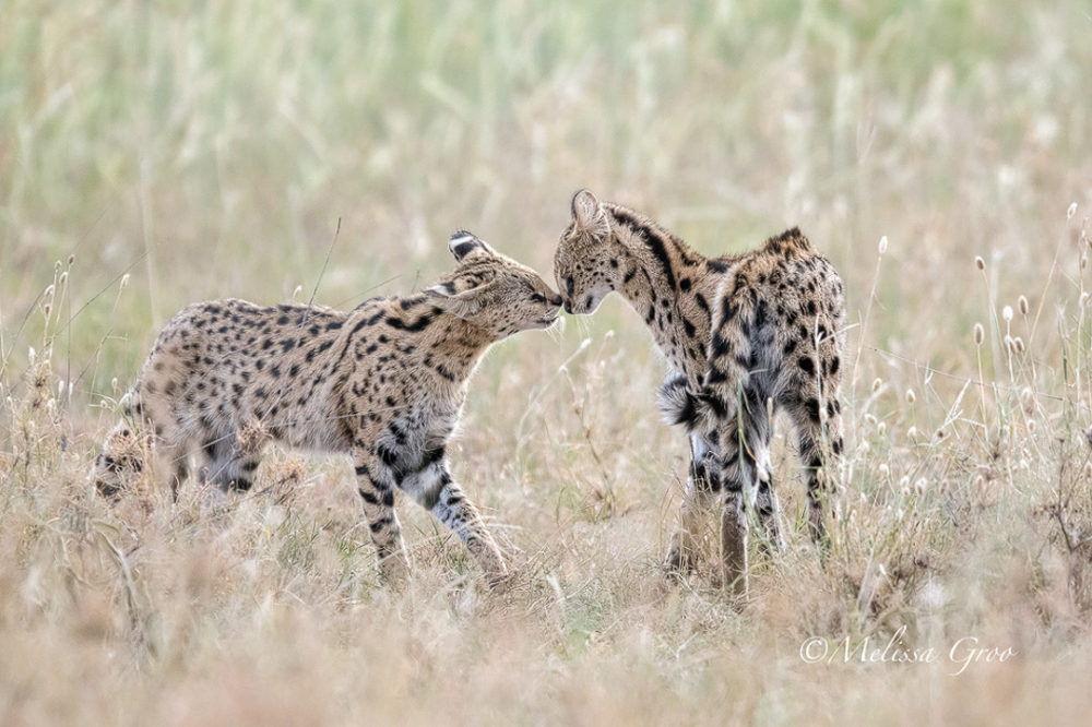 npr news animal photog 7 serval cats