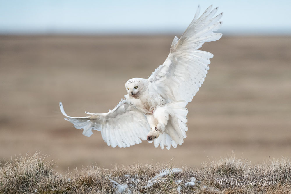 npr news animal photog 8 snow owl