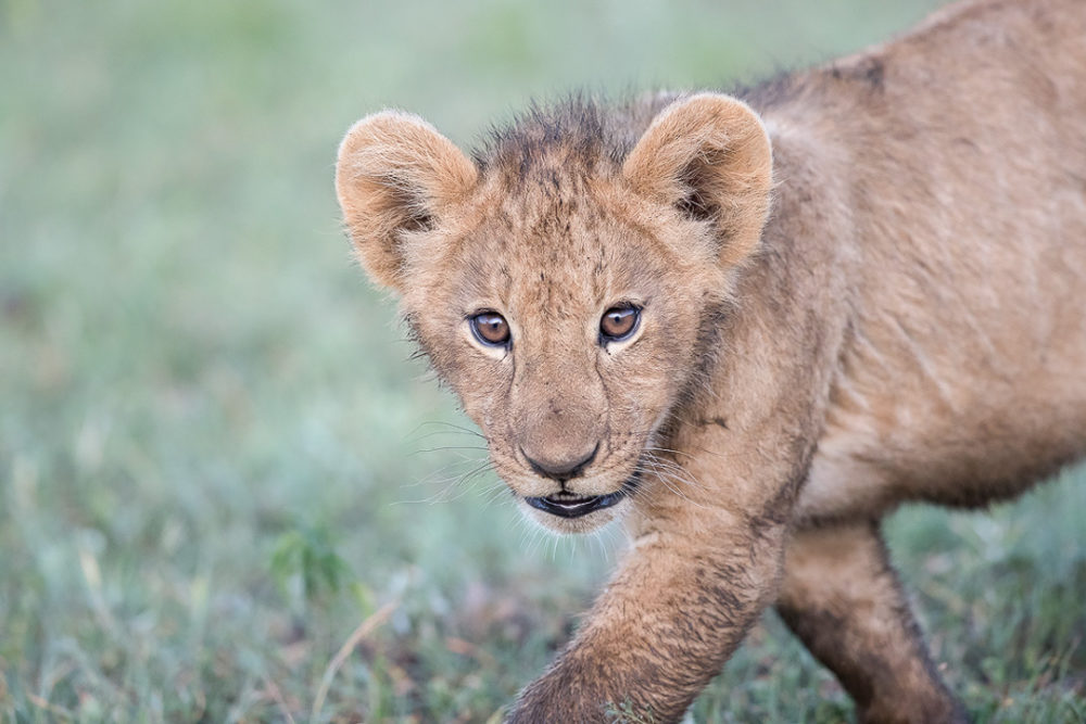 npr news animal photog 9 lion cub
