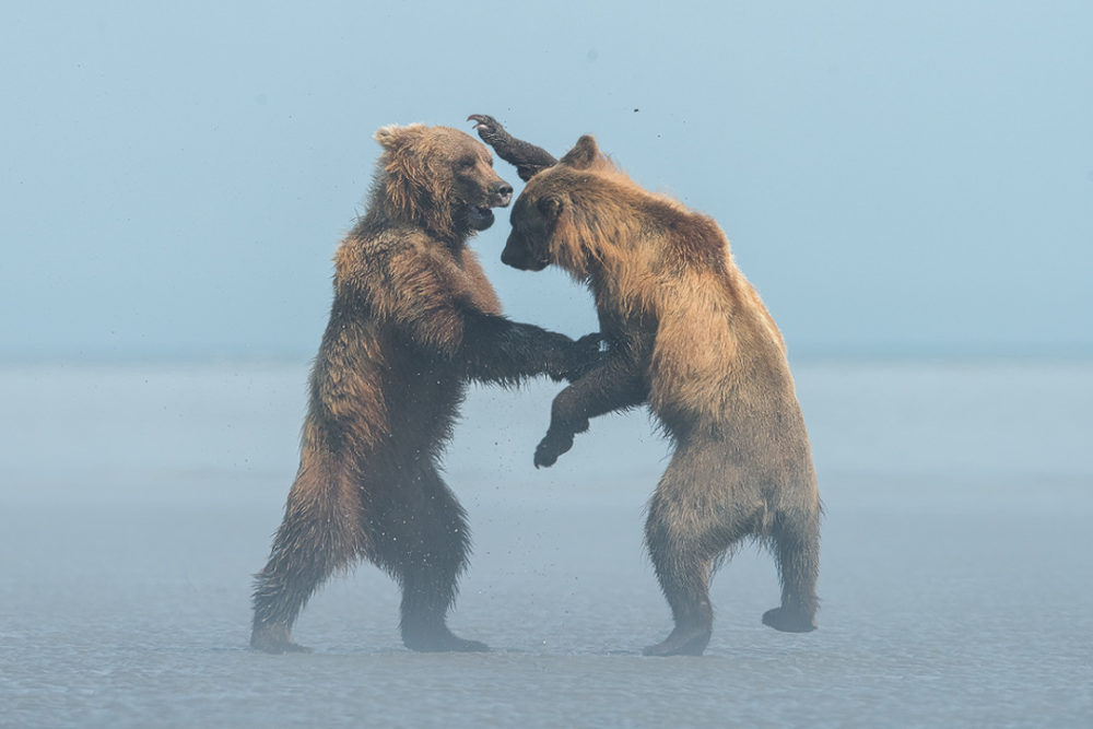 npr news animal photog 2 brown bears