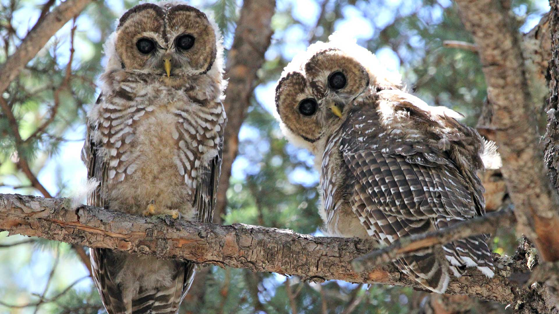 Fledgling Mexican spotted owls.
