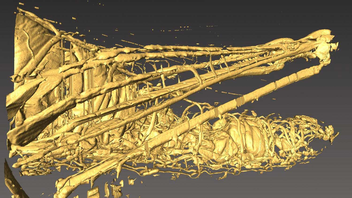 A 3-D microtomographic image of a grasshopper in a head-down position. The inflated air sacs in the abdomen are visible. The tomography was performed at Virginia Tech.