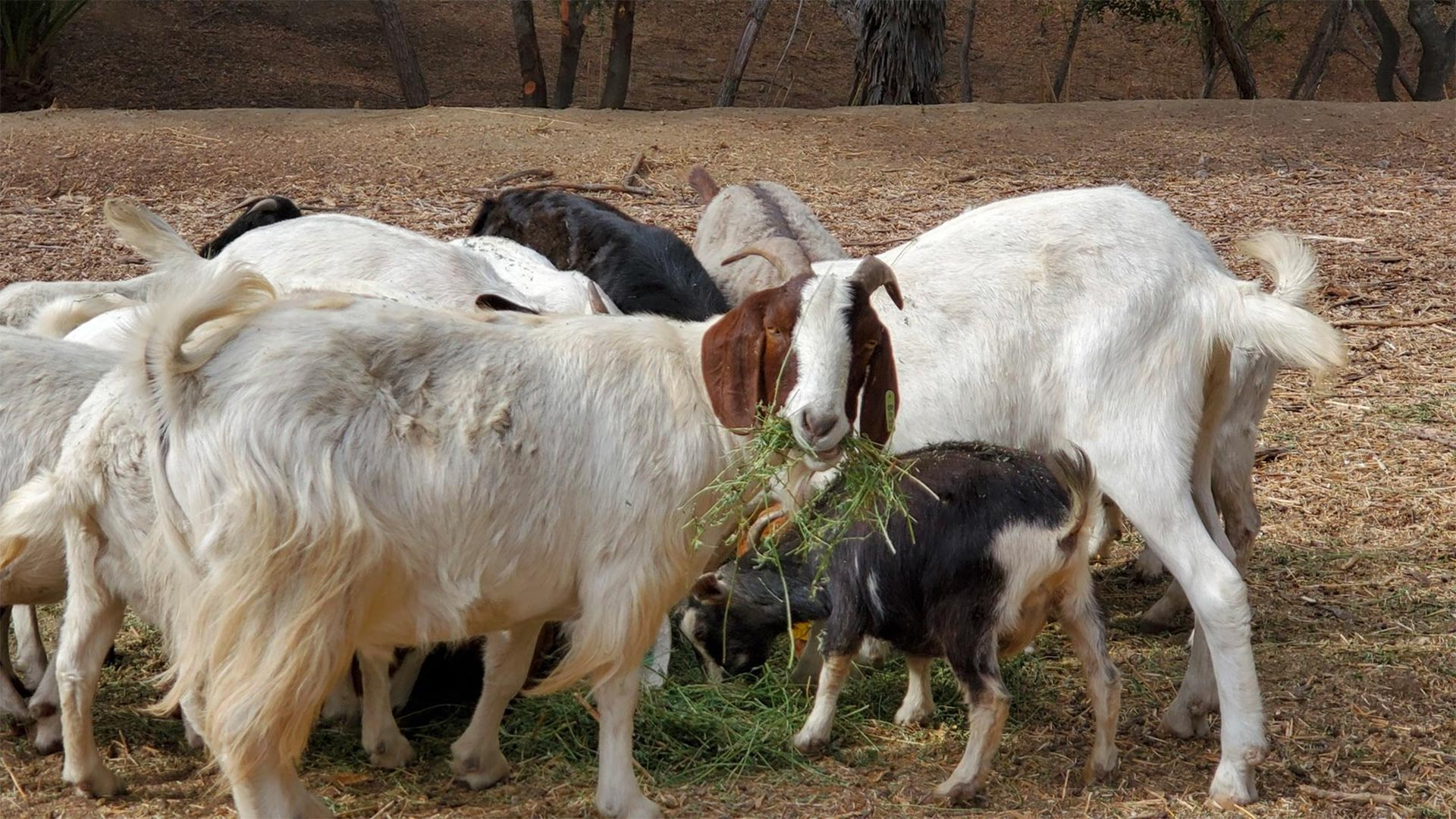 A herd of goats spent the fall in and around Anaheim, Calif.'s Deer Canyon Park helping to keep grasses and other potential wildfire fuels in check.
