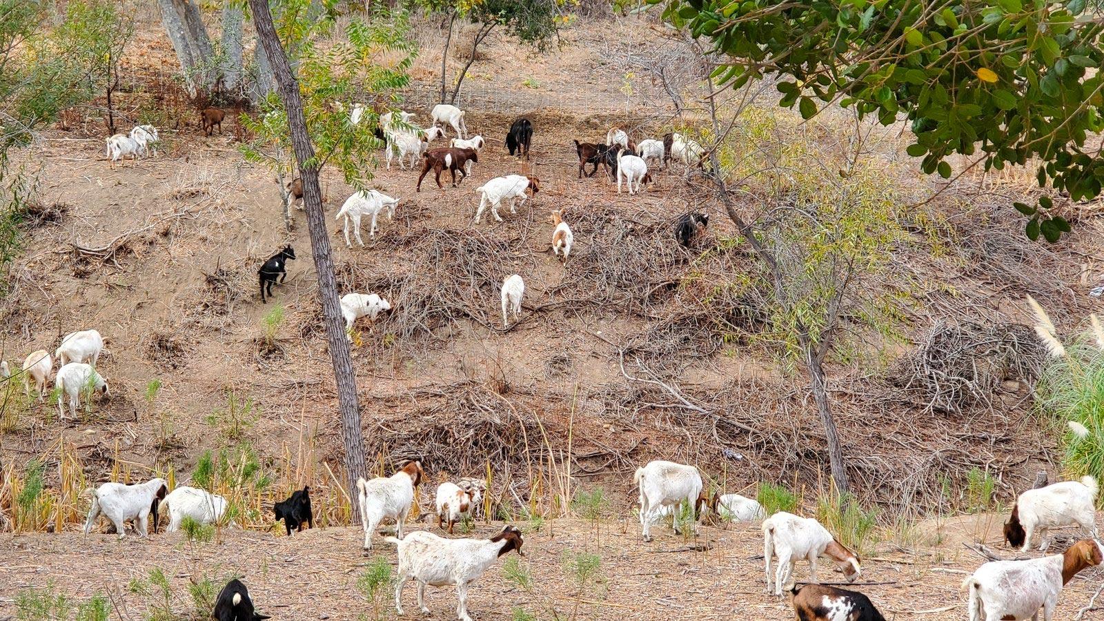 npr news goats 2