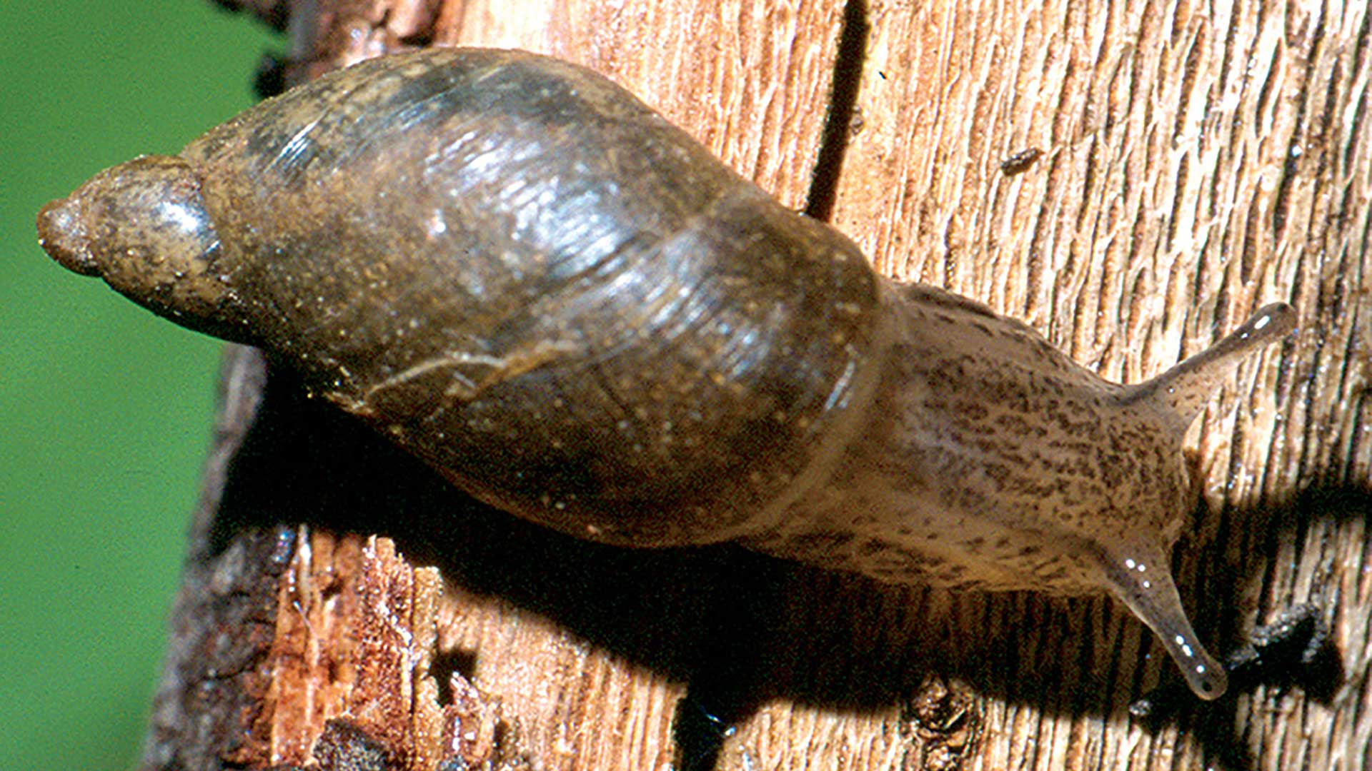 The Kanab ambersnail was listed as an endagered species for more than 20 years, but federal officials have proposed taking it off the list after determining it is not a species distinct from other, more common ambersnails.