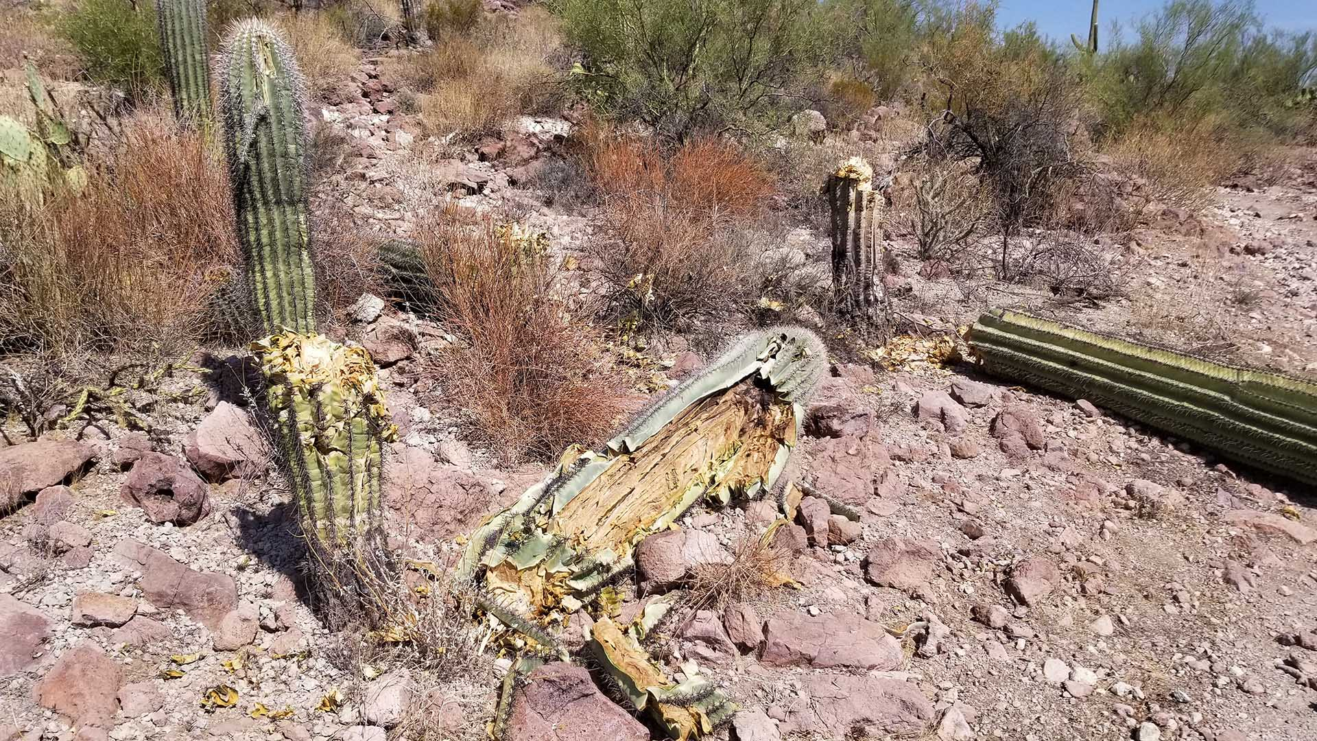 Visitors to Saguaro National Park discovered several vandalized saguaro cactuses around October 3, 2020. Nine of the iconic succulents were chopped down and are believed to be dead.   Three others were damaged but may recover.