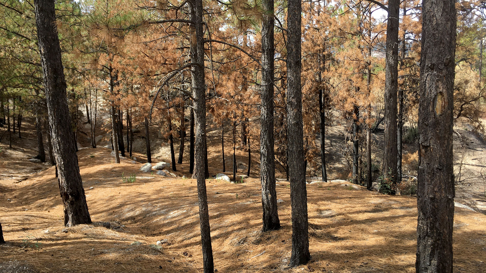Singed trees on the road up Mount Lemmon in early October, months after the Bighorn Fire.
