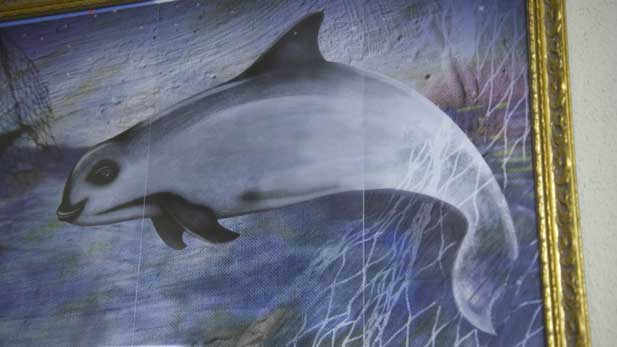 A painting of a Vaquita, the most endangered sea mammal in the world.