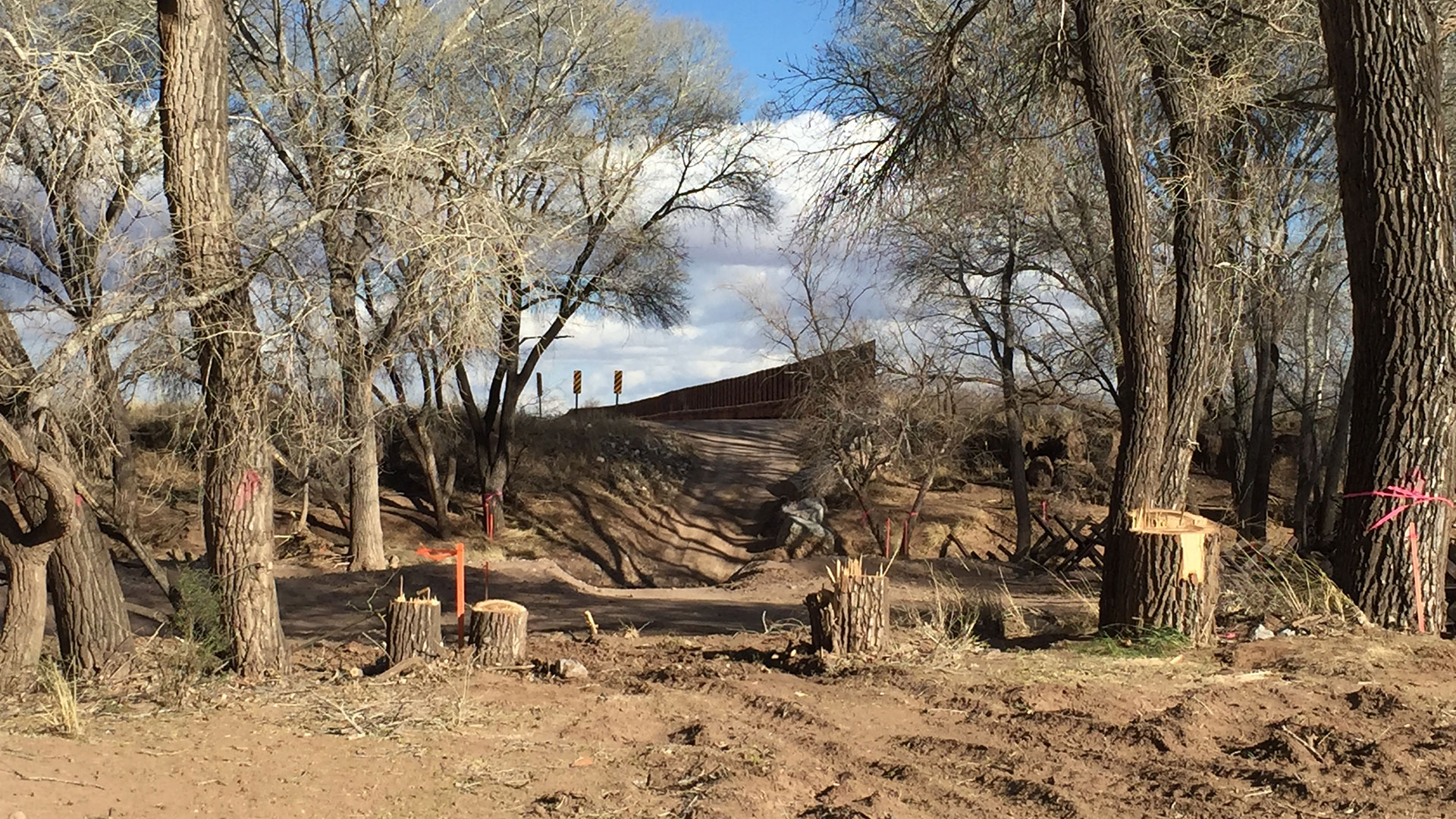 Cottonwoods along the San Pedro River channel cut down for pending border wall construction across the river.