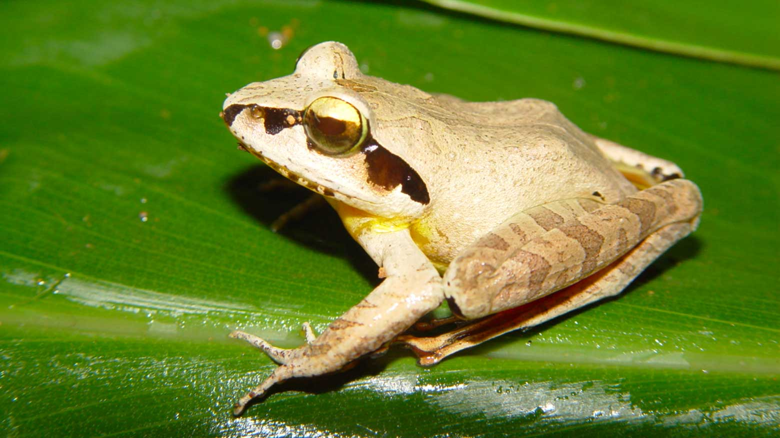 The Madagascar jumping frog has experienced climate-related local extinction.