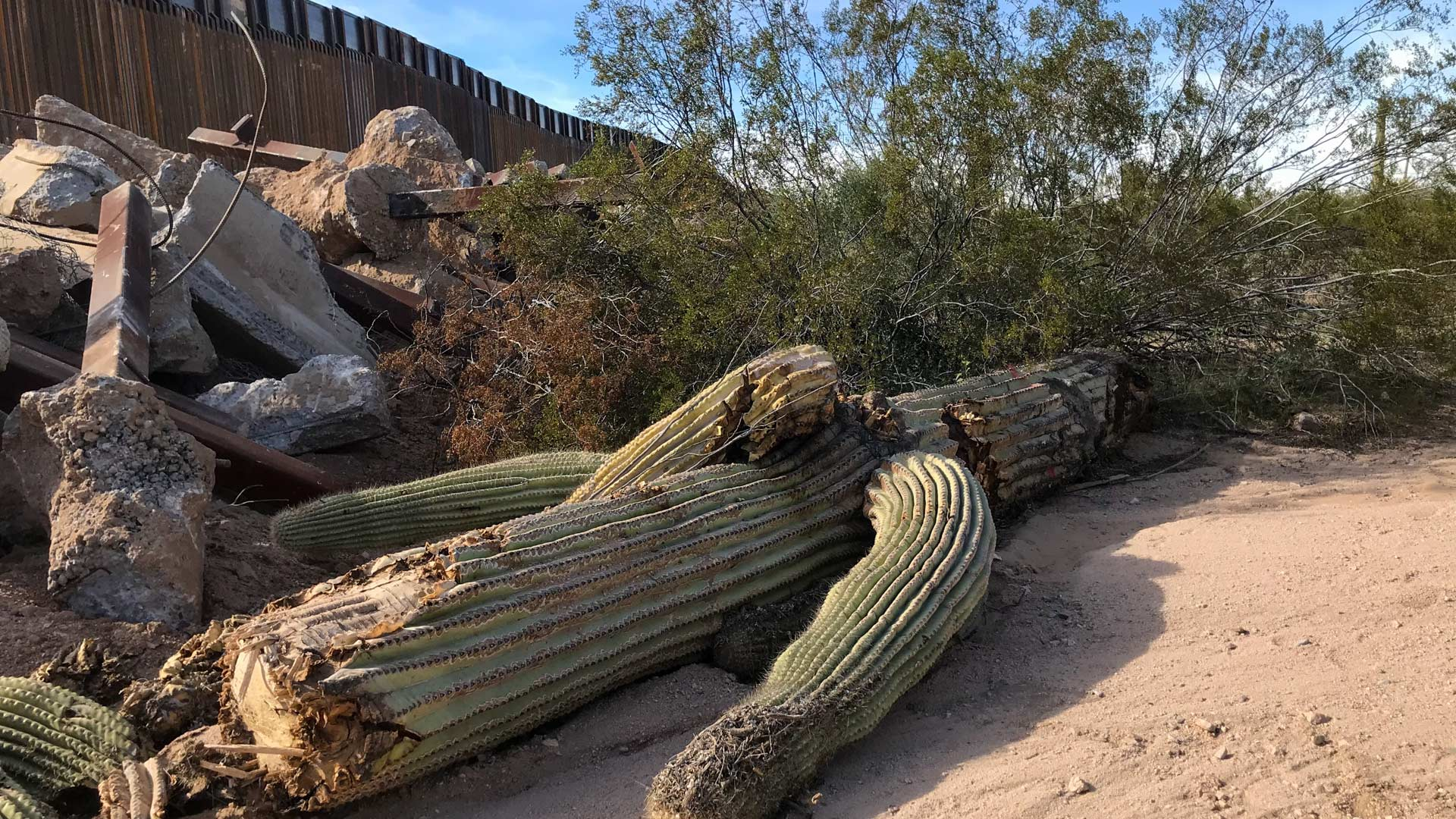 A toppled saguaro in Organ Pipe Cactus National Monument on Dec. 21, 2019.