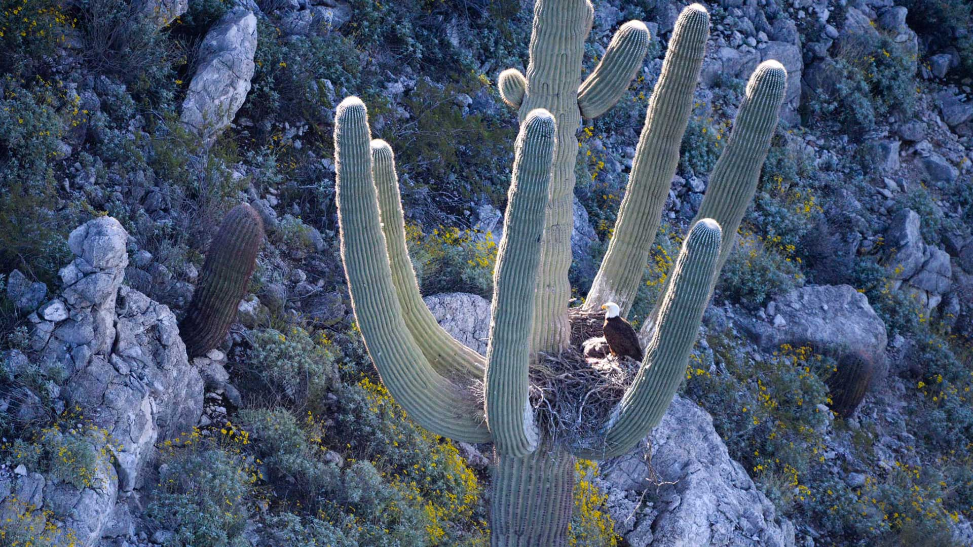 Arizona Game and Fish said April 15 they found bald eagles nesting in a large saguaro near a central Arizona reservoir.