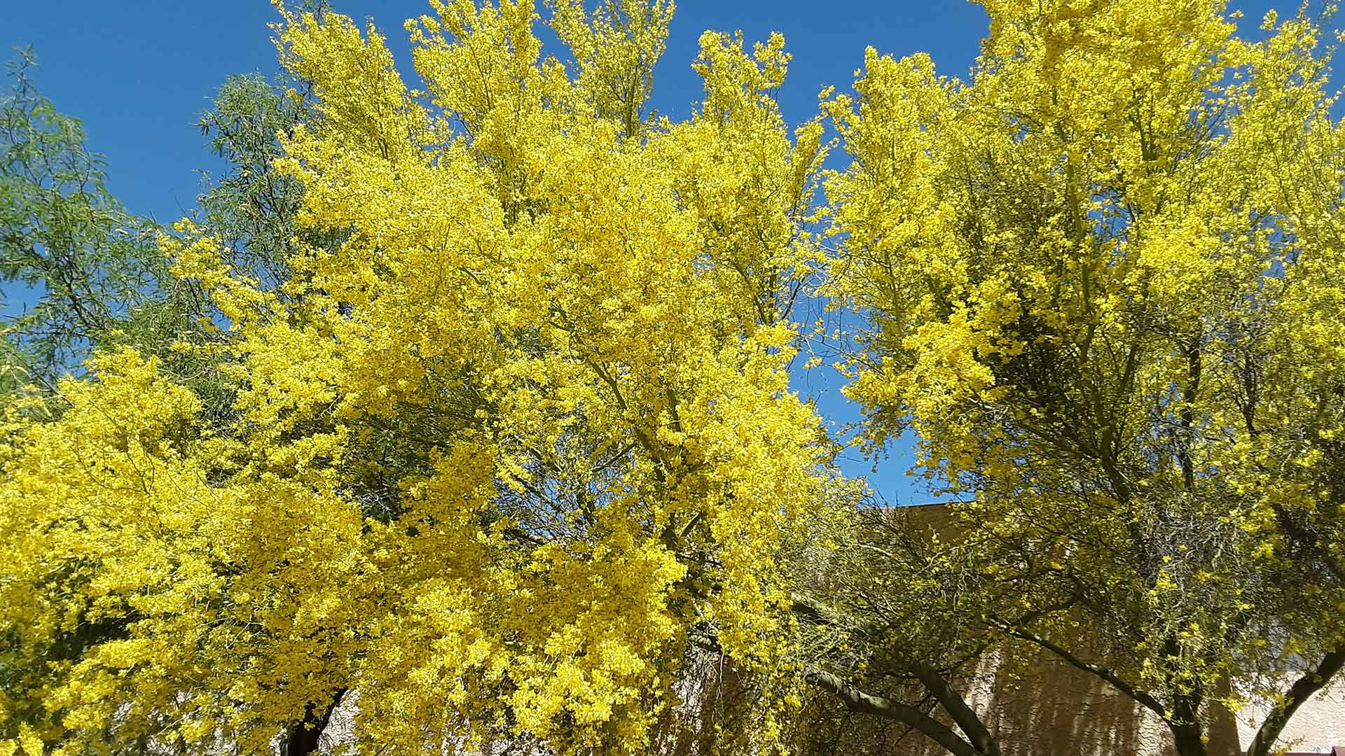 A blossoming palo verde tree.