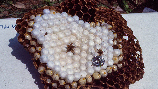 Murder hornets hive spotlight