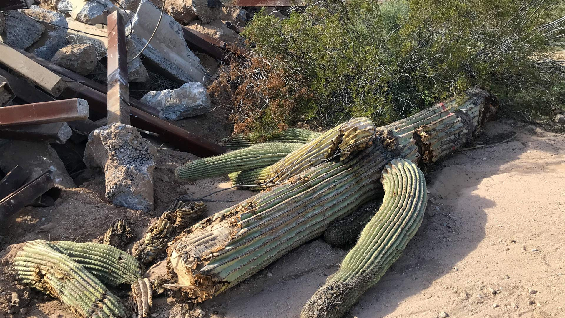 A toppled saguaro in Organ Pipe Cactus National Monument on December 21, 2019.