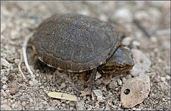 Sonoyta mud turtle unsized