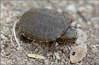 Sonoyta mud turtle unsized