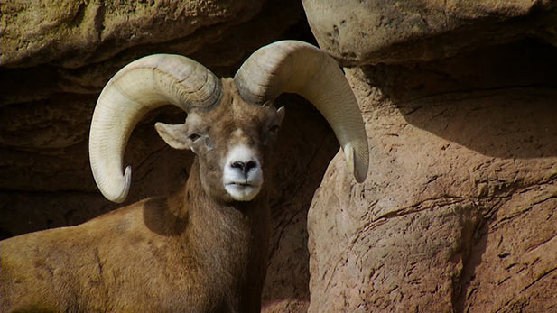 The Bighorn