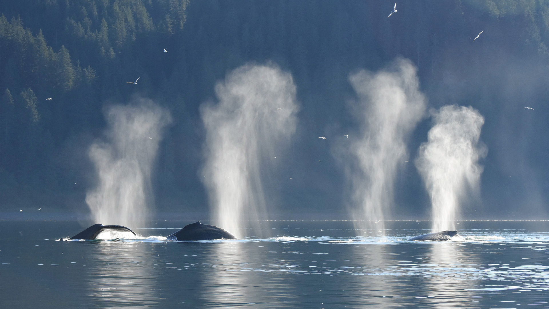 A group of humpback whales feeding together just outside Glacier Bay, Alaska.