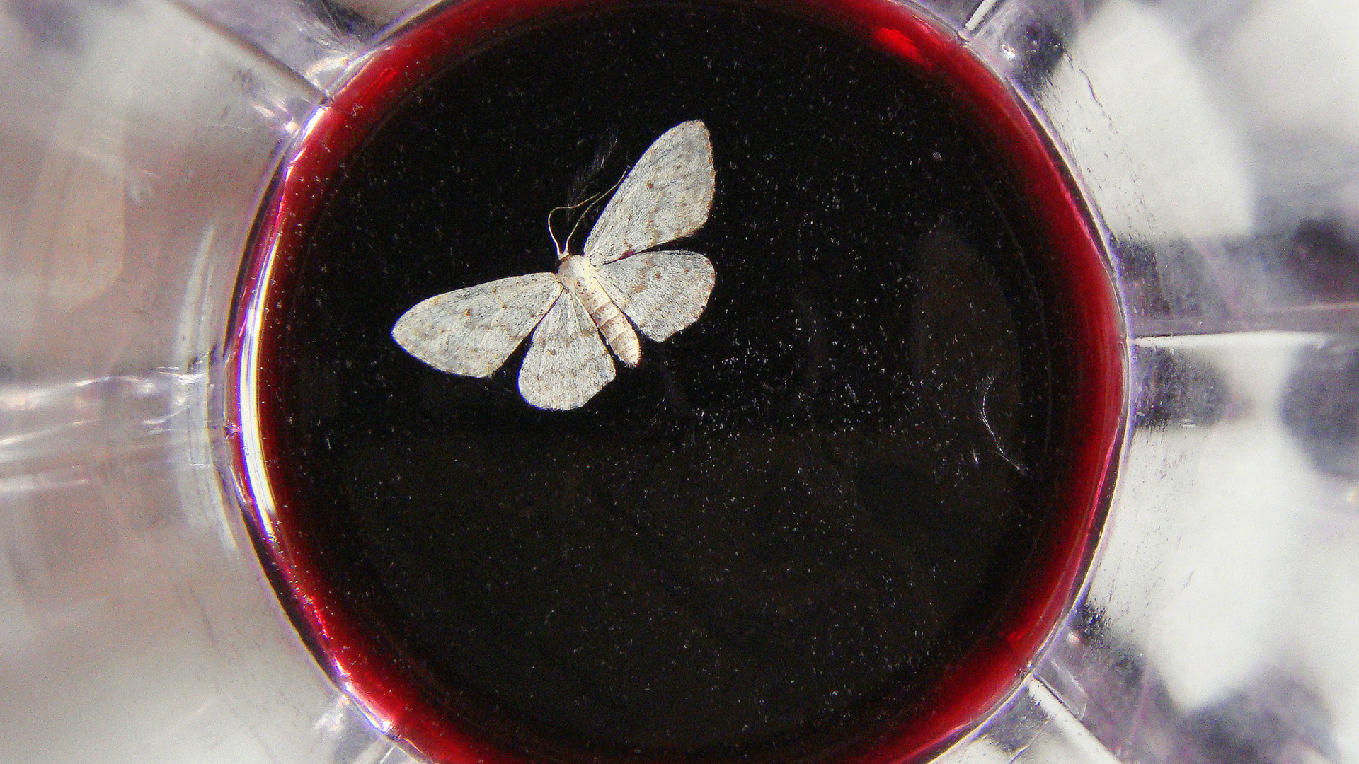 Moth in wine hero