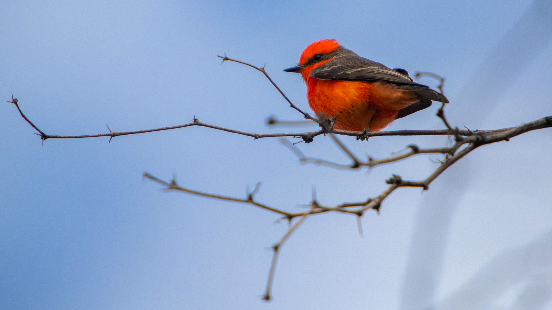 A male vermillion flycatcher perches atop an open branch on one of the many charred mesquites on our land, La Isla.