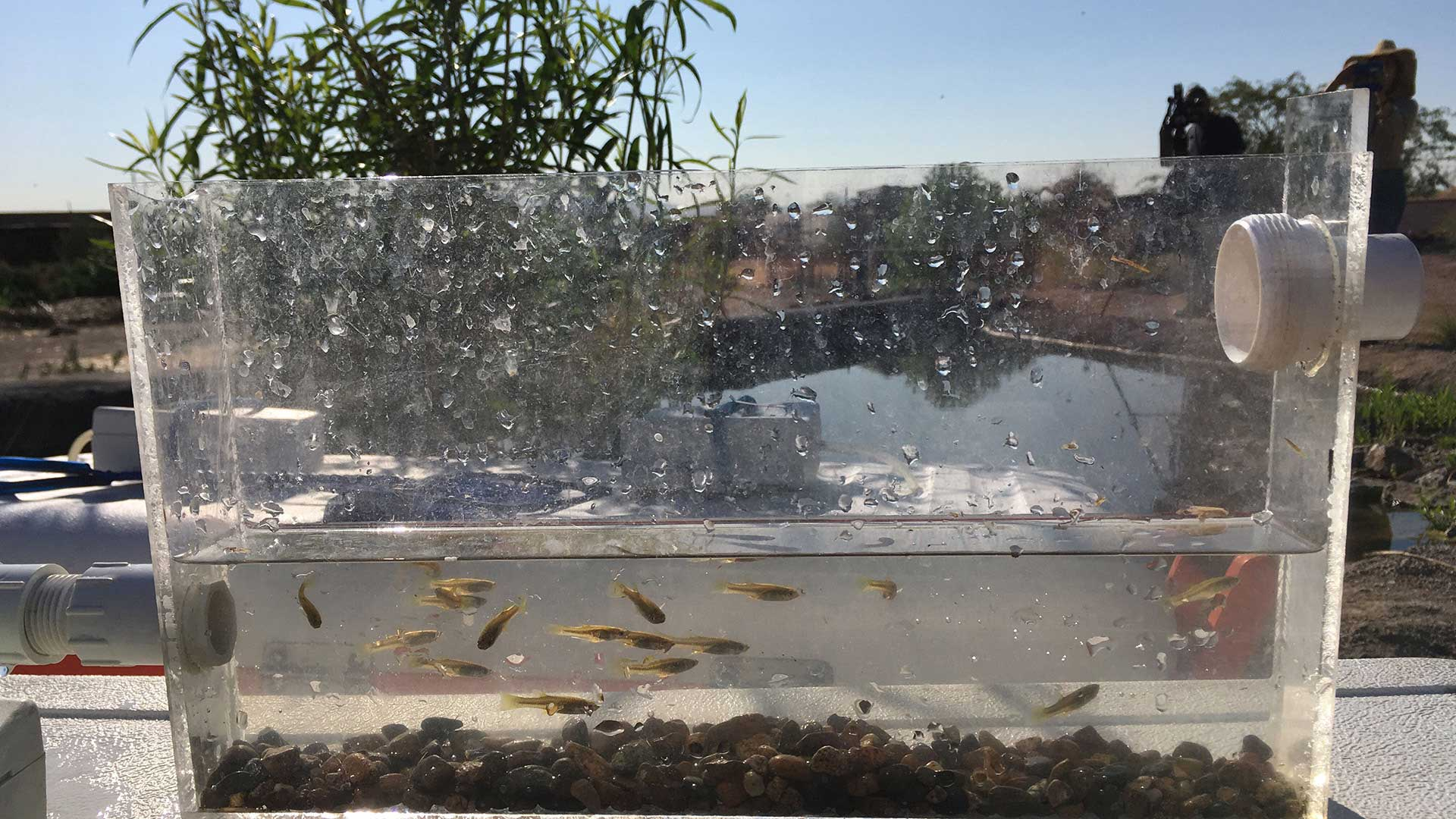 Endangered Gila topminnow being reintroduced to a new habitat at Mission Garden, March 2021.