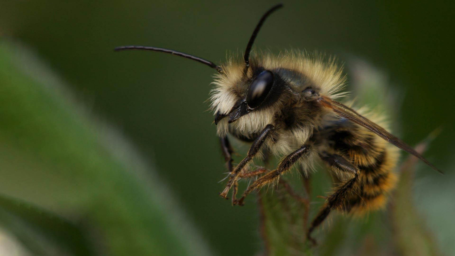 Osmia bicornis (Red mason bee).