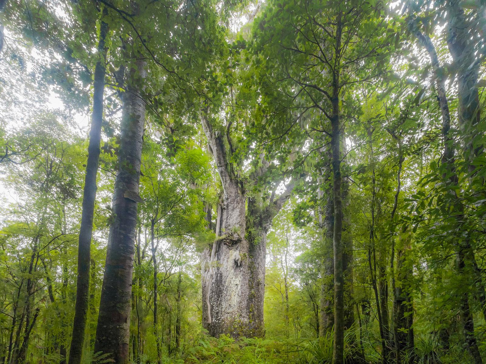 npr news ancient trees