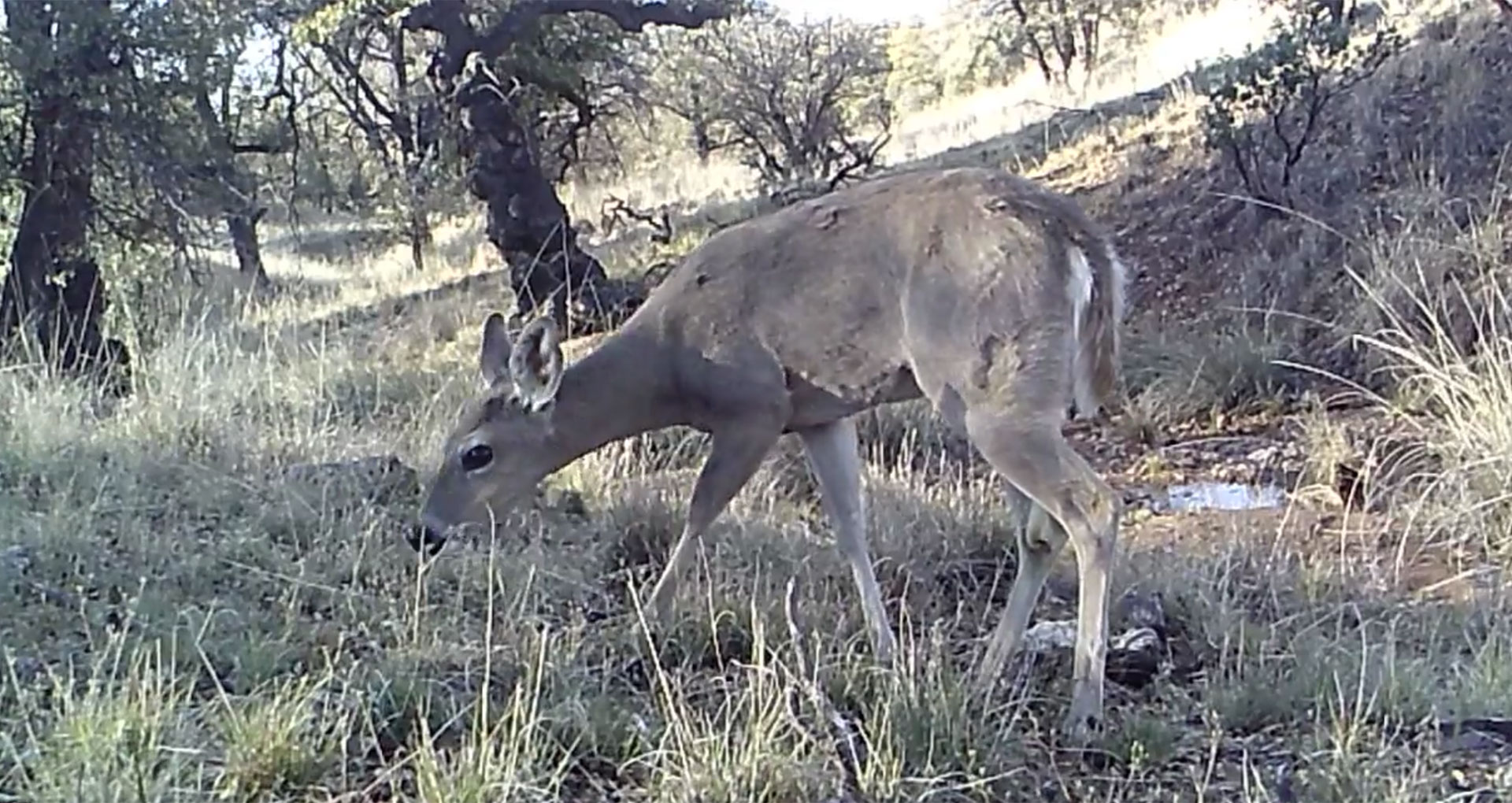 Deer border cam
