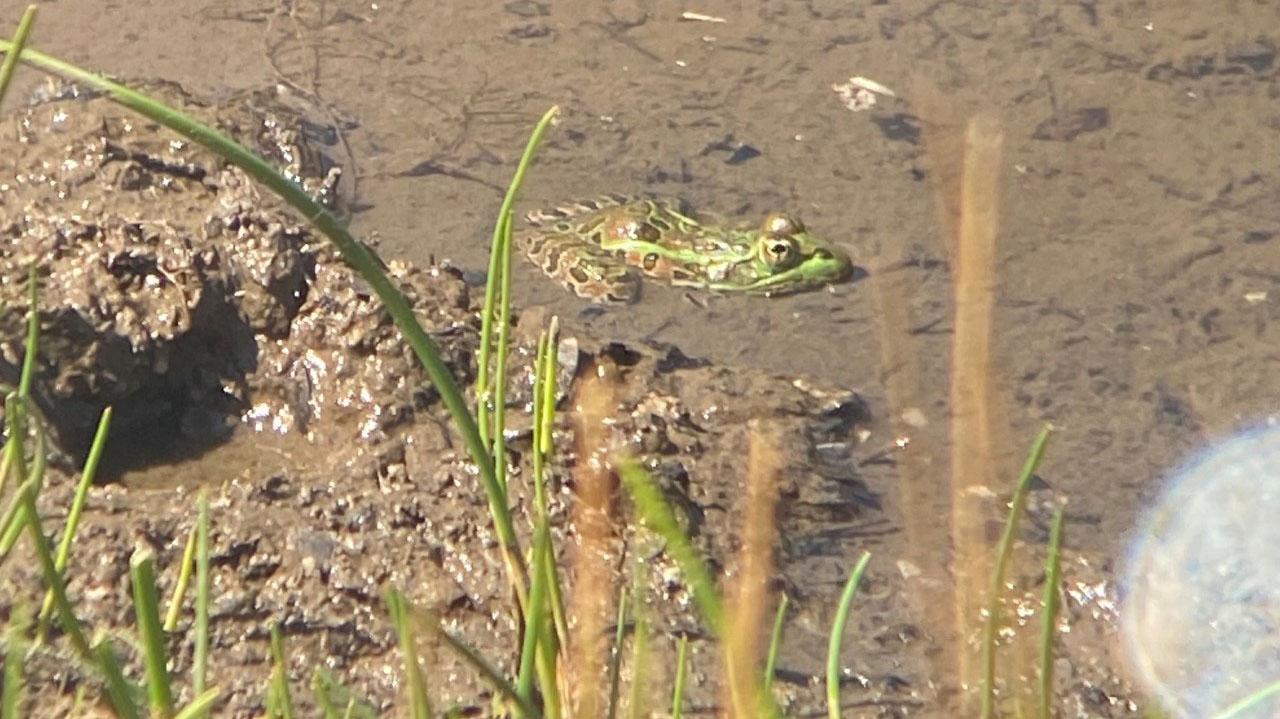 leopard frog spotlight 1