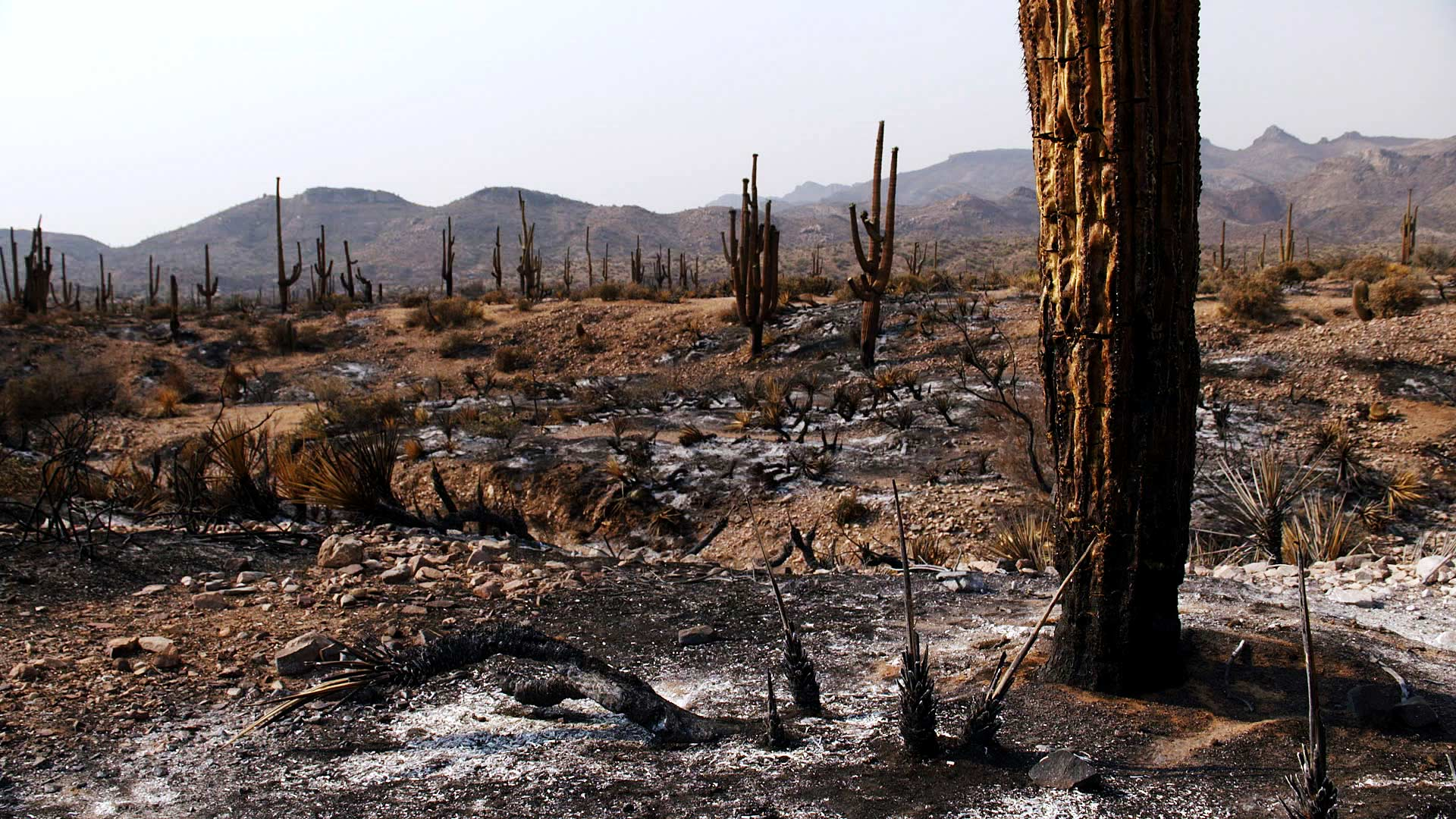 Scorched saguaros and desert landscape from the Telegraph Fire that started June 4, 2021 and spread across areas of Pinal and Gila counties. June 2021.