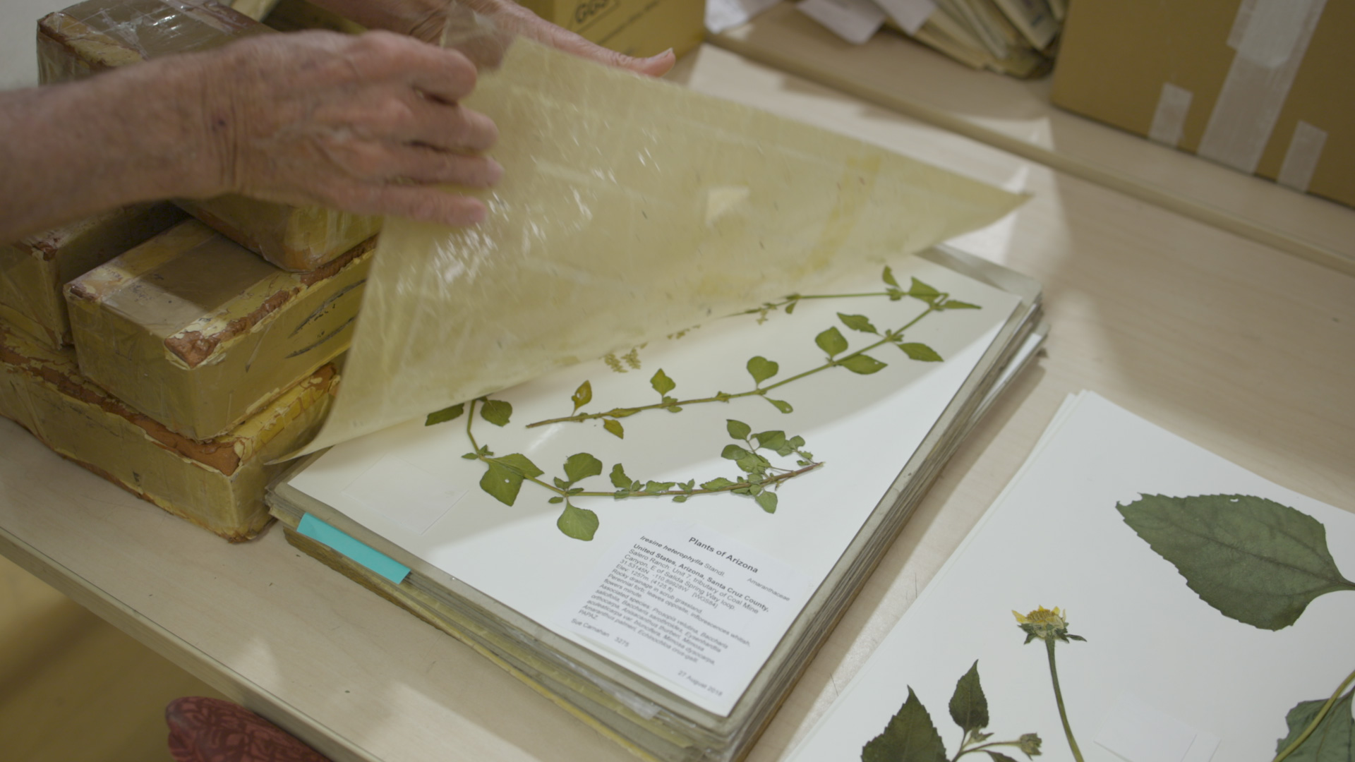 The University of Arizona Herbarium is a research collection of over 425,000 dried plant specimens, with emphasis on the plants of the Sonoran Desert region and adjacent areas