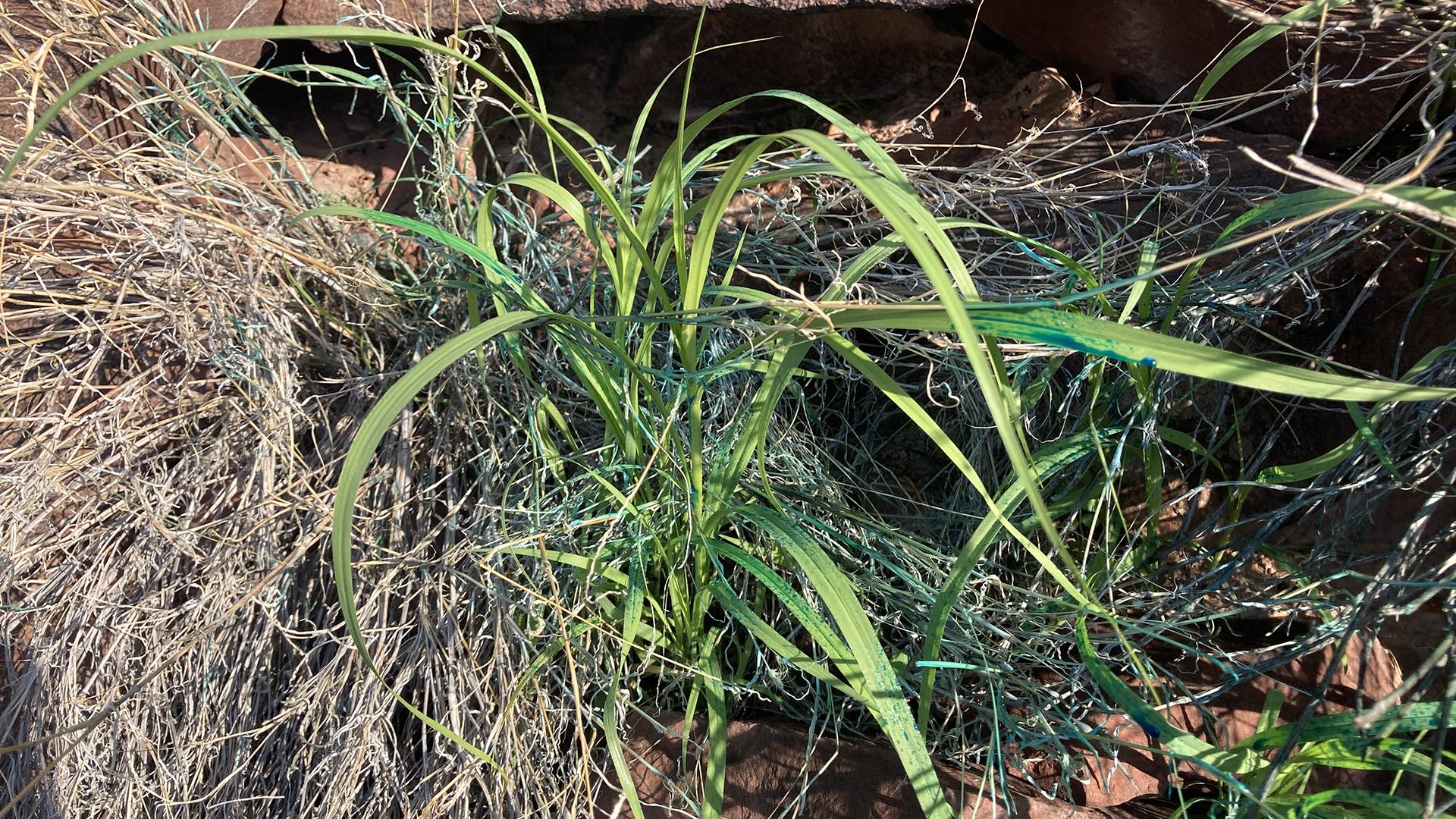 Blue Buffelgrass 2021 SNP