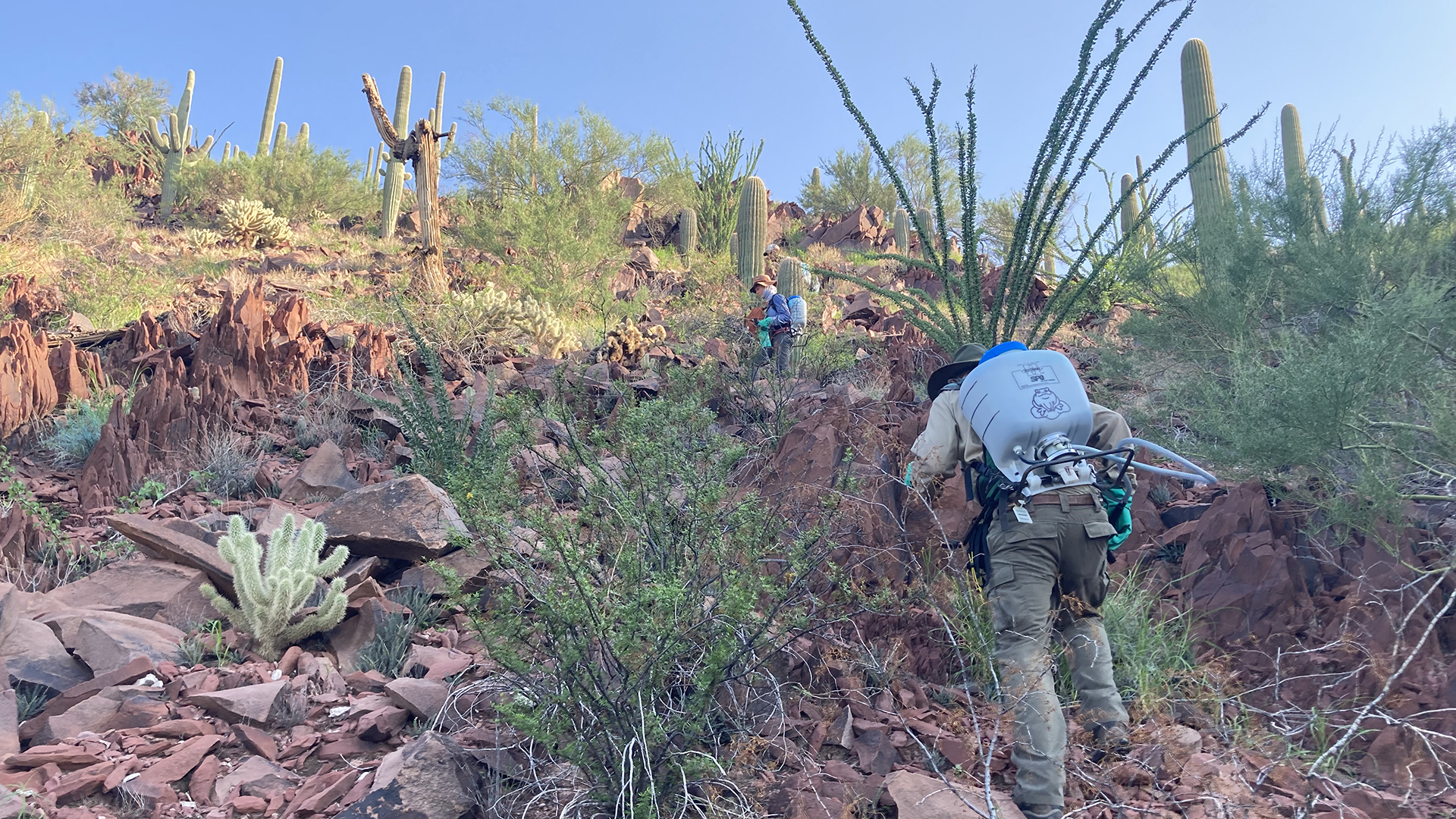 Saguaro National Park employees climbing up a hill within the park to find and spray bunches of buffelgrass with herbicide August 2021.