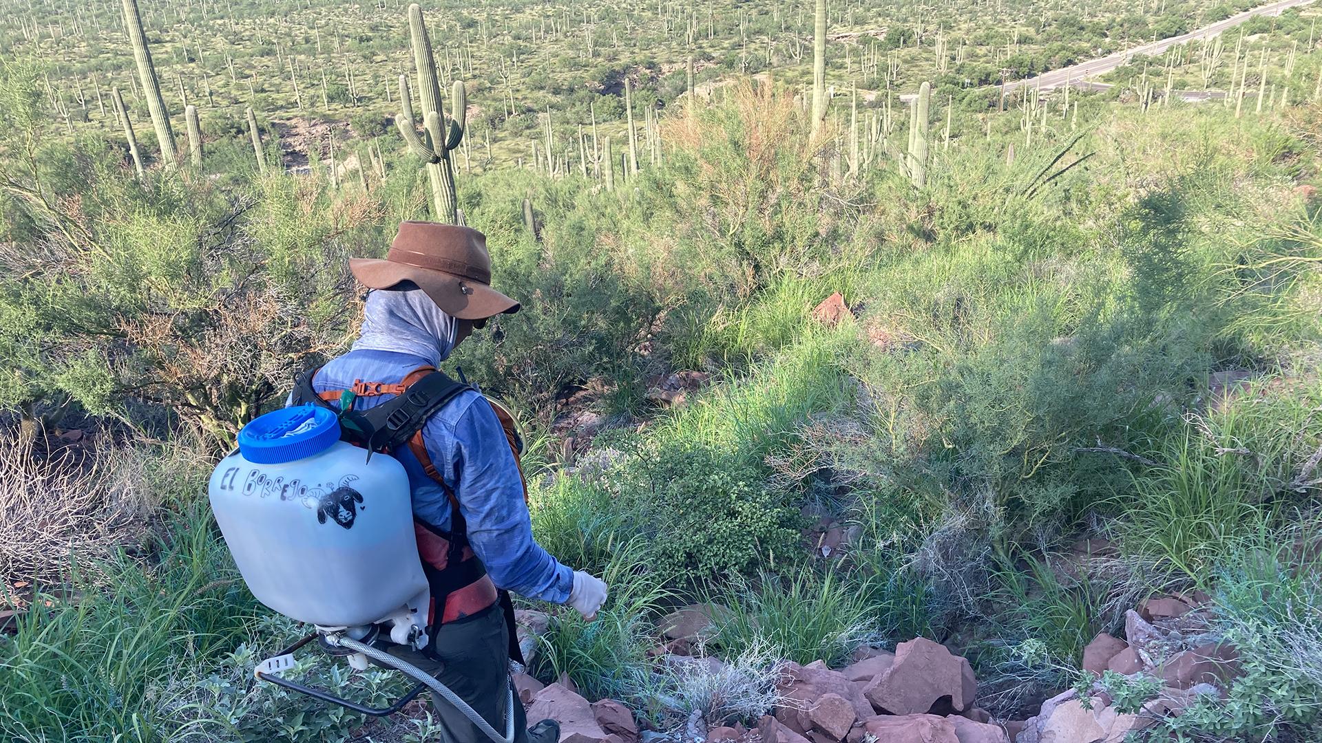 Buffelgrass 2021 SNP