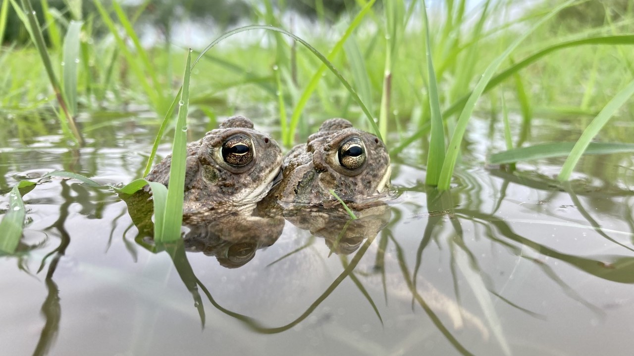 Great Plains toads