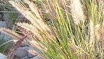Buffelgrass