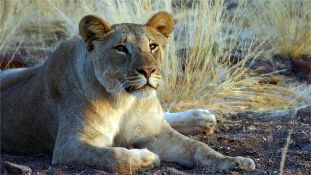 Nature: Desert Lioness