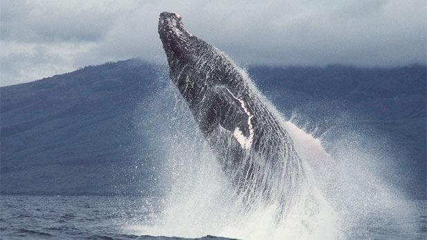 Nature: Fellowship of the Whales