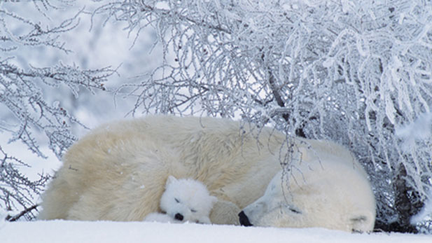 A polar bear asleep with a small cub