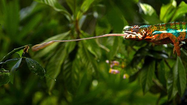 Nature Chameleon
