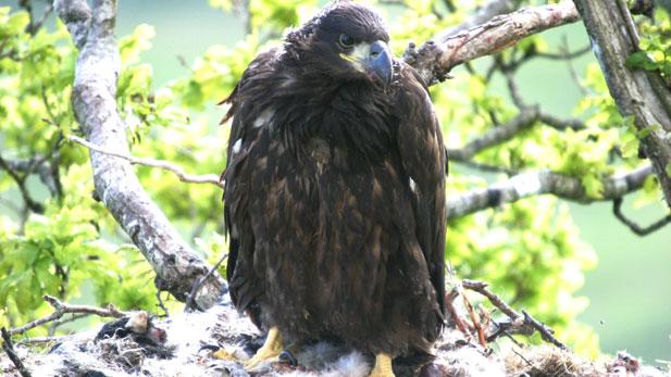 A sea eagle chick