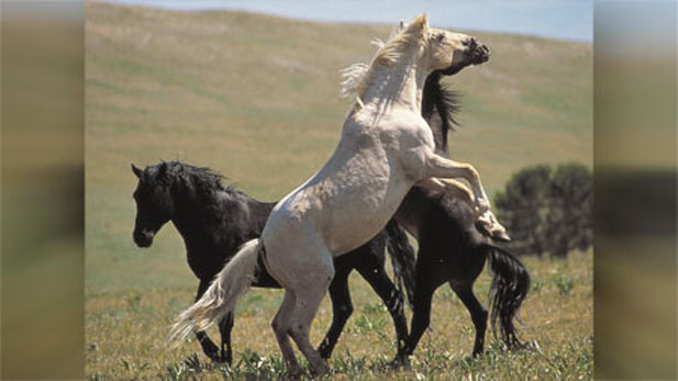 Cloud a wild stallion of the west